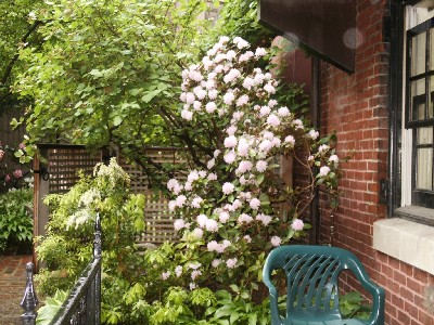 andromeda and viburnum by kitchen window