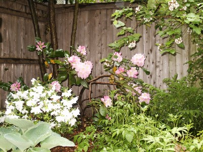 rhododendron in rectory garden