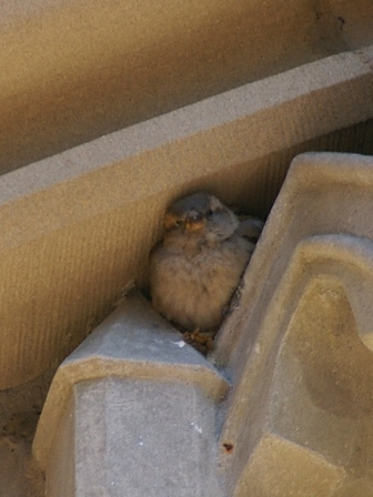 sparrow hiding in tympanum